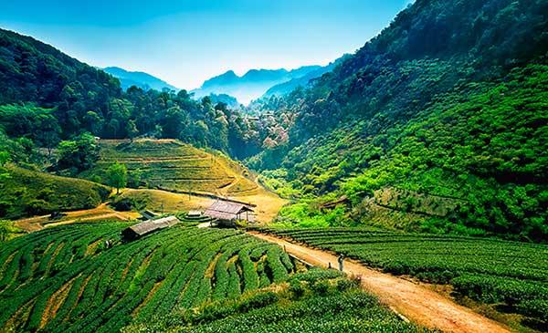 chiang-mai-thailand-tea-trekking-tours